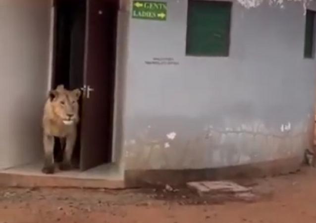 Leão sai de banheiro público na Índia