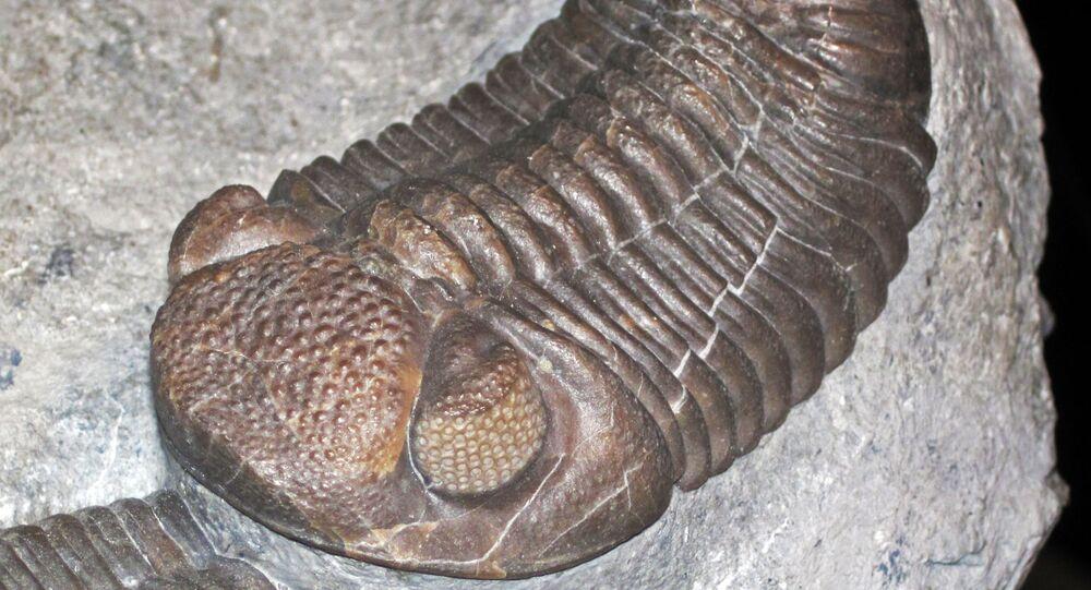 Trilobita da ordem Phacopina (imagem referencial)