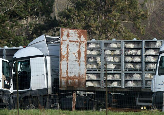 Caminhão transportando perus. Foto de arquivo