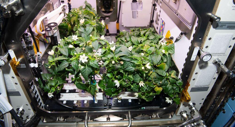 Pimenta chilli na Estação Espacial Internacional