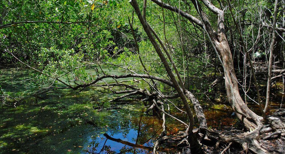 Floresta de mangue (imagem referencial)