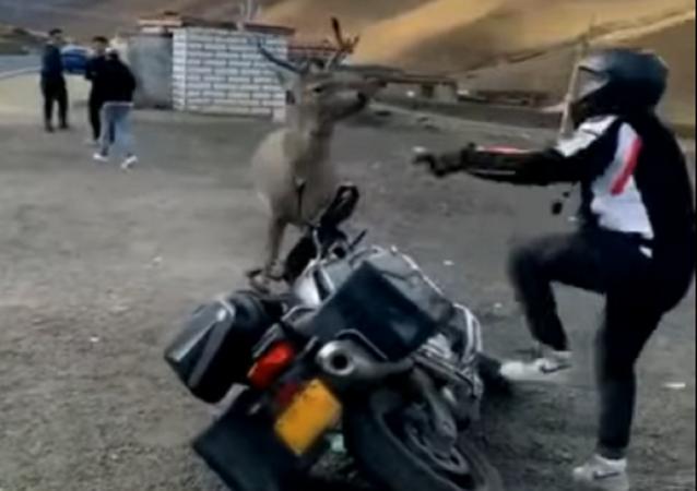 Cervo trava batalha com chinês zangado