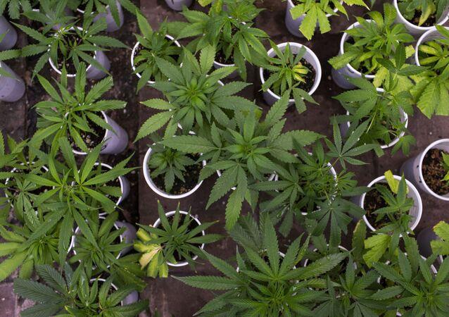 Plantação de maconha em clube de cultivo de Guillermo Amandola em cidade próxima a Montevidéo