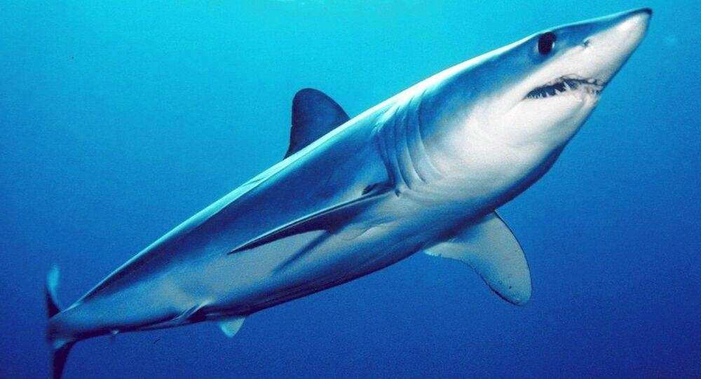 Tubarão-mako (Isurus oxyrinchus)