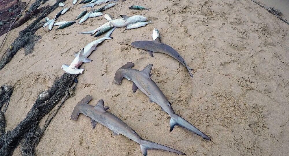 Tubarões mortos (Imagem ilustrativa)