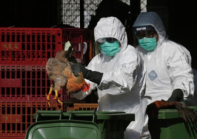 Health Workers Dispose of Chickens Because of Bird Flu Outbreak