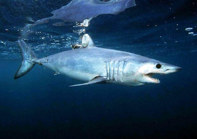 Tubarão-mako