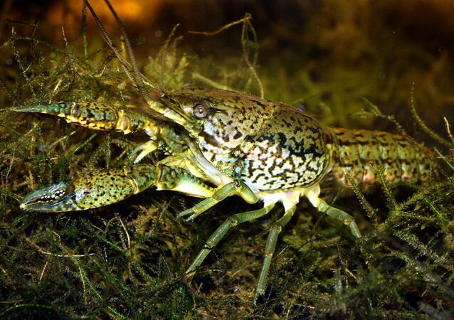 Procambarus virginalis