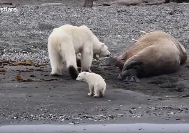 Ursos polares fogem após acordarem morsa no Polo Norte