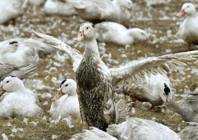 Patos em uma fazenda a 10 quilômetros de uma área infectada no sudoeste da França (imagem referencial)