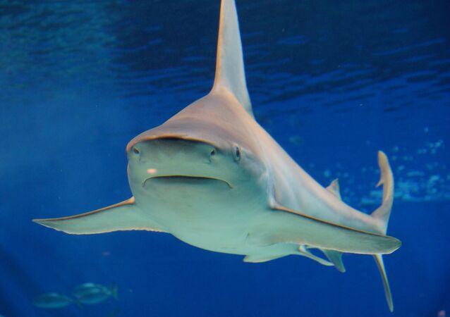 Tubarão-cabeça-chata