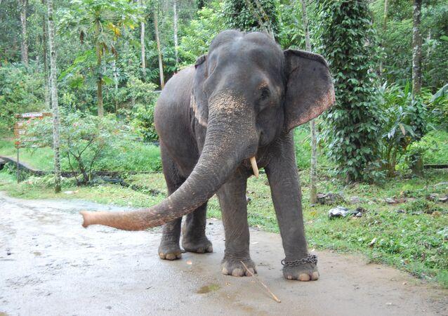 Elefante na Índia (imagem referencial)