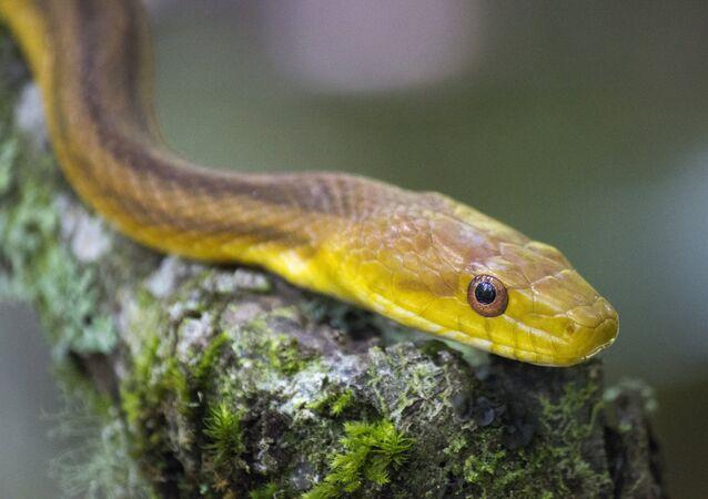 Cobra rato (imagem referencial)