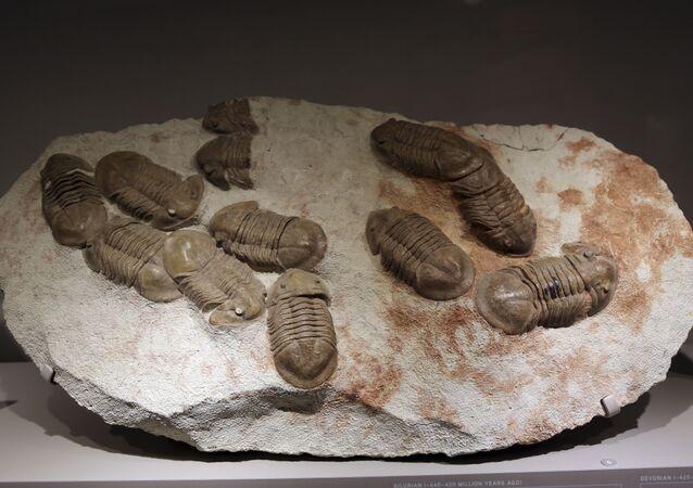 Fósseis de trilobitas na exposição do Museu Americano de História Natural, Nova York