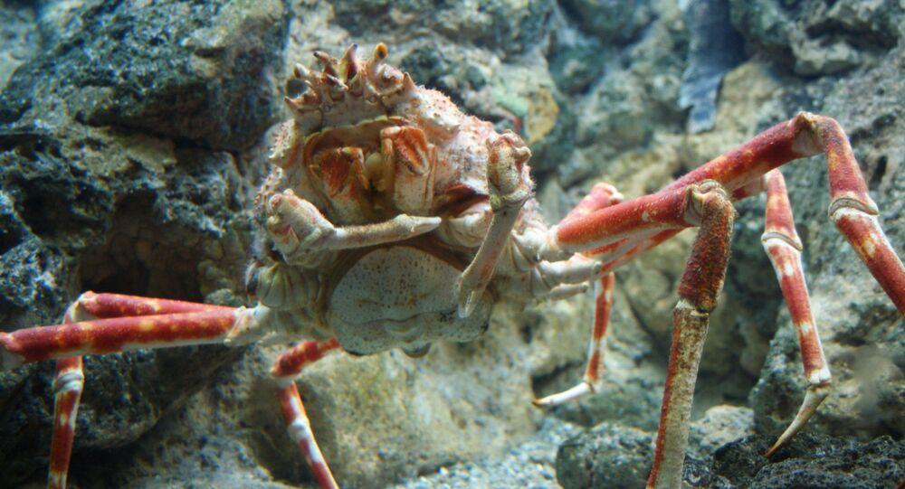 Caranguejo-gigante-japonês no oceanário