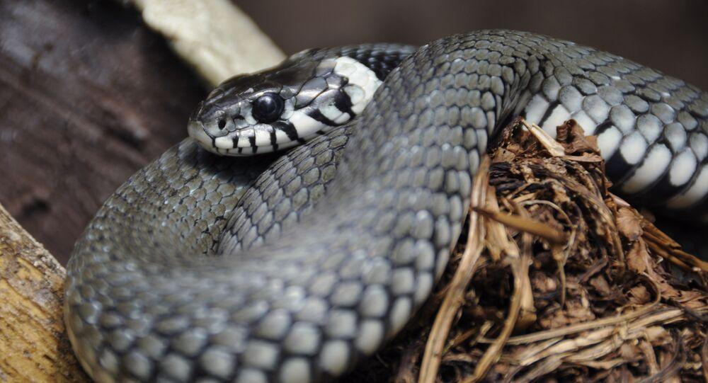 Cobra-de-água-de-colar (imagem referencial)