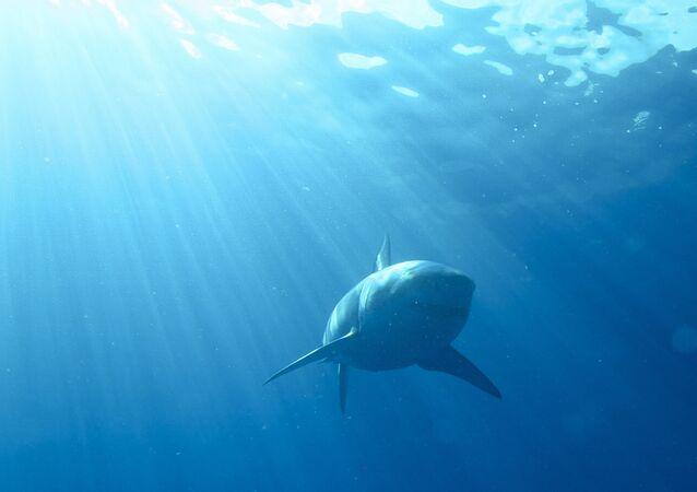 Um tubarão branco