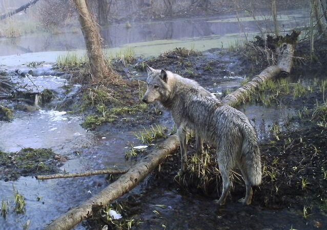 Lobo na floresta da parte ucraniana da zona de exclusão de Chernobyl (foto de arquivo)