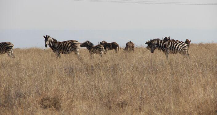 Zebras em parque de natureza selvagem de Kleinfontein