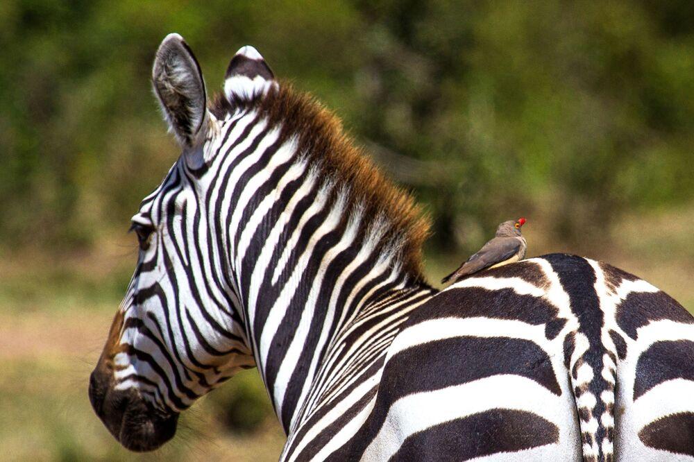 Zebra no parque nacional Masai Mara, no Quênia