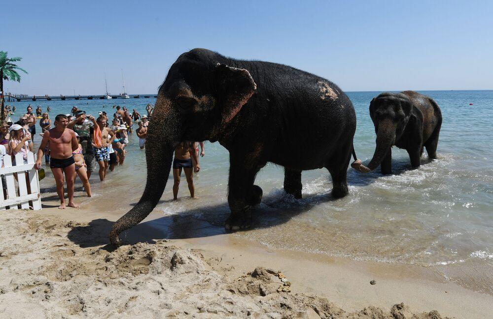 Um casal de elefantes indianos, artistas de circo, após o banho em uma praia da Crimeia