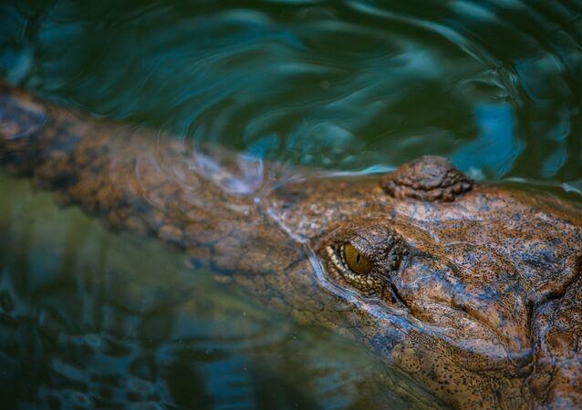 Crocodilo-marinho em água (imagem ilustrativa)