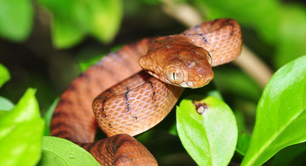 Cobra-arbórea-marrom (Boiga irregulares) (imagem referencial)