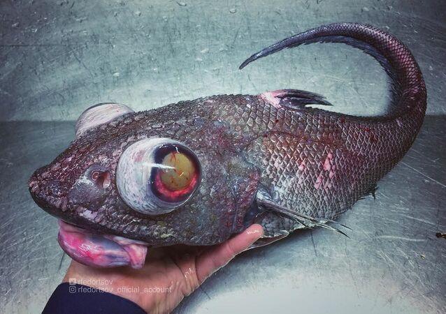 Misterioso habitante das profundezas marinhas pescado pelo marinheiro Roman Fedortsov perto da cidade de Murmansk