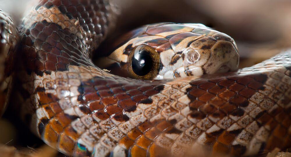 Cobra-do-milho (imagem referencial)