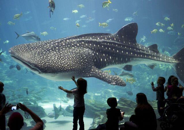 Visitantes observando um tubarão-baleia no Aquário da Geórgia, nos EUA (foto de arquivo)