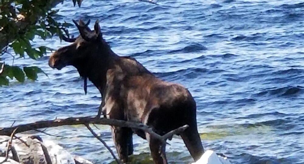 Alce dentro do lago Champlain, no estado norte-americano de Vermont, em 1º de setembro de 2018 (imagem referencial)
