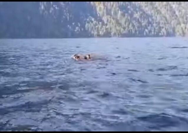 Família de ursos atravessando o lago Teletskoye na Reserva Natural de Altai