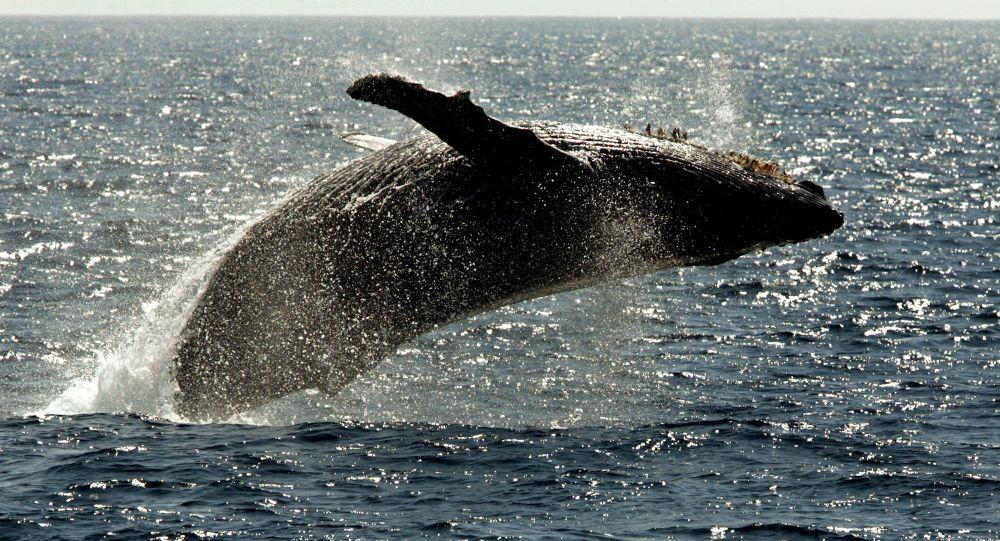 Baleia-jubarte perto do Hawaii