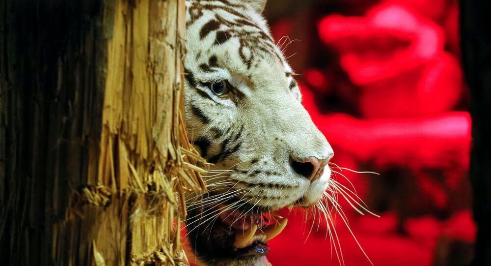 Um tigre (foto referencial)
