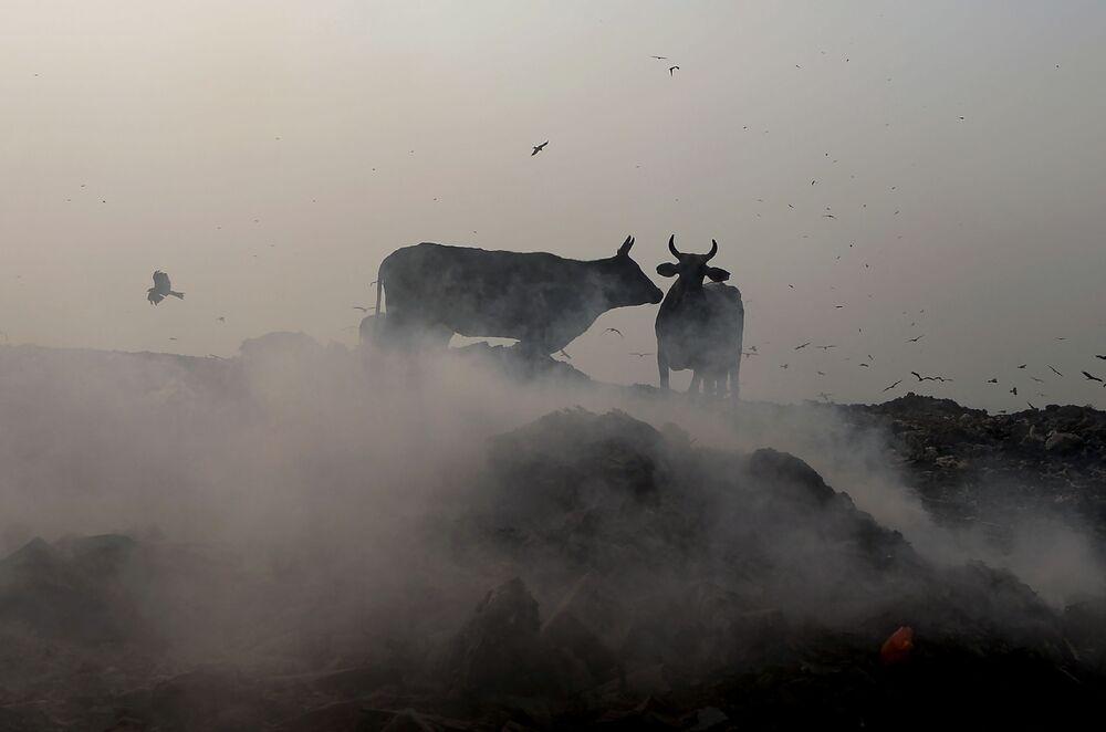 Vacas pastam em aterro sanitário em Nova Deli, Índia, 29 de outubro de 2018