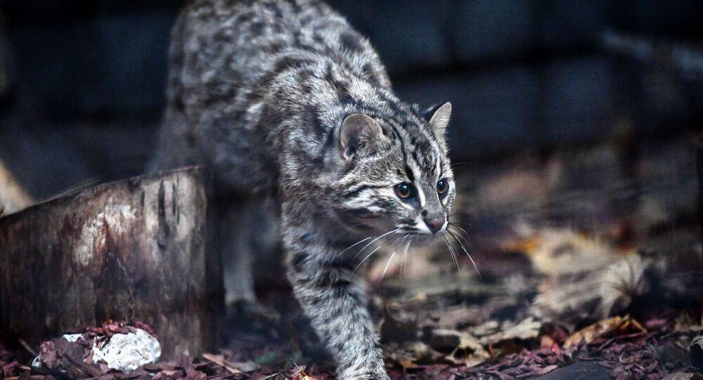 Gato selvagem de Amur caminhando no Jardim Zoológico de Moscou (imagem referencial)