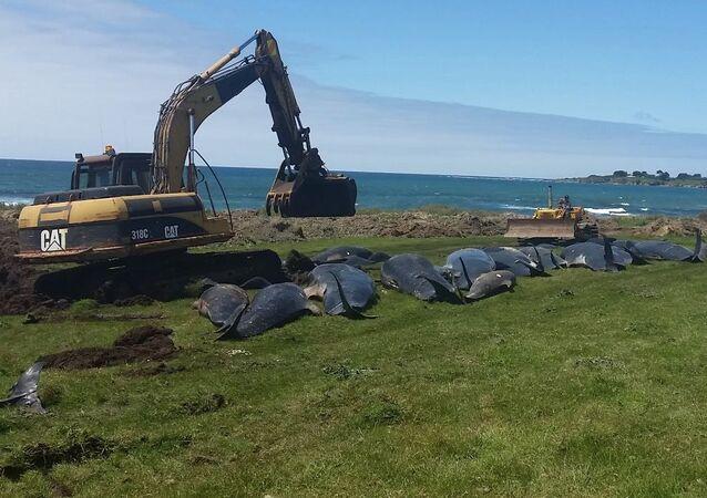 Baleias-piloto na costa da ilha de Chatham, na Nova Zelândia