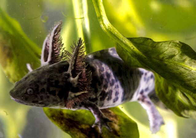 Axolote, animal endémico do México e parecido à nova espécie de salamandra recém-descoberta nos EUA