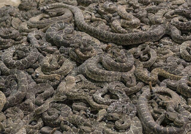 Ninho de cobras (imagem referencial)