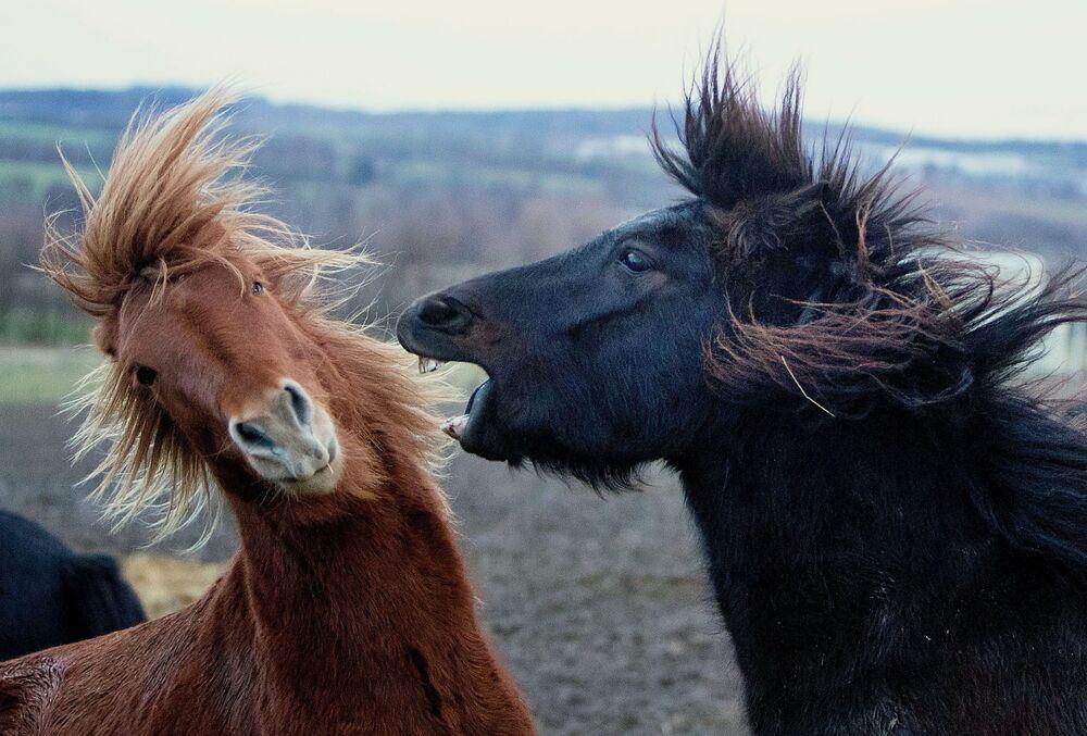 Cavalos islandeses no seu cercado, Alemanha
