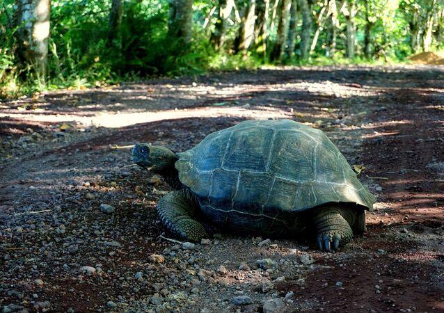 Tartaruga gigante no Parque Nacional de Galápagos