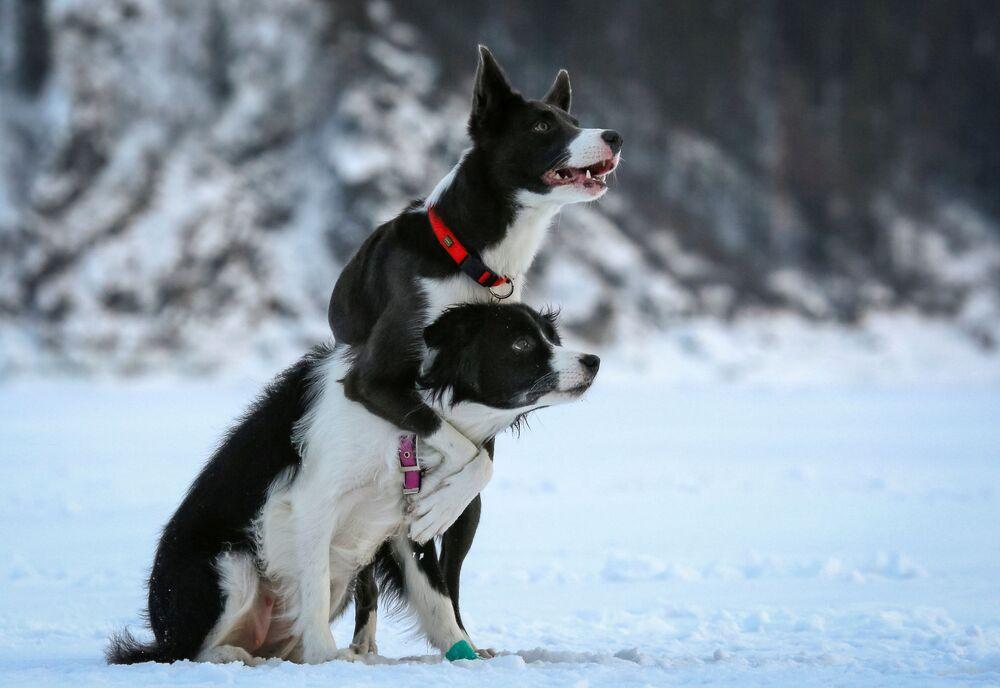 Cães de raça Border Collie passam por treinamento sobre o rio congelado Enisey nos arredores da cidade russa de Krasnoyarsk