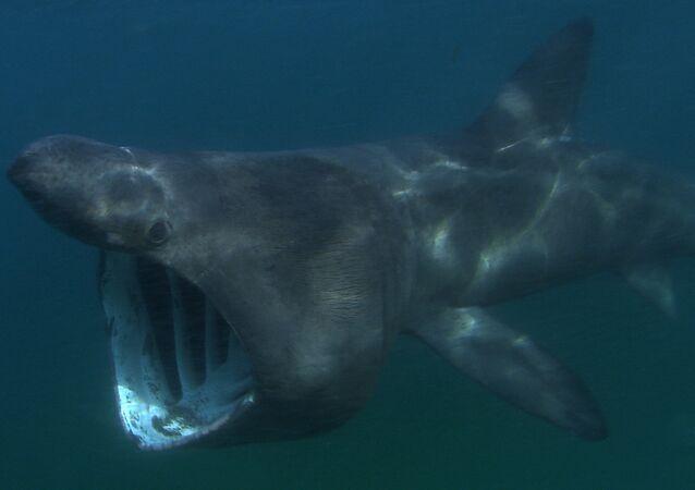 Tubarão-frade