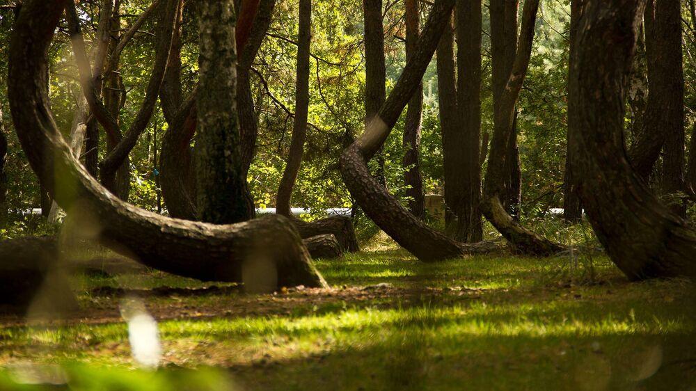 Troncos curvados em floresta polonesa