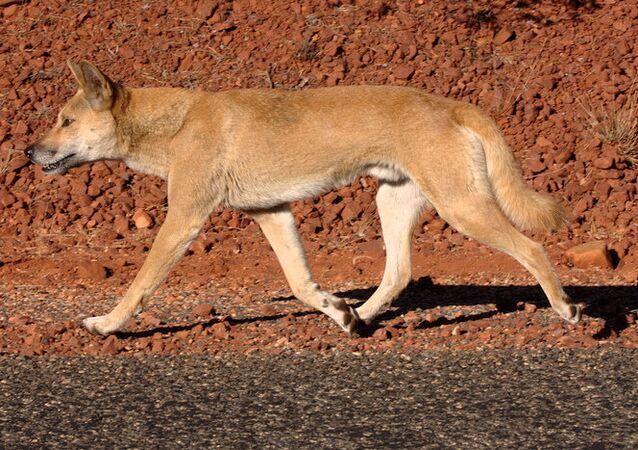 Um dingo (imagen referencial)