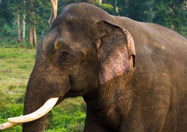 O elefante-asiático (imagem referencial)