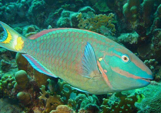 Peixe-papagaio se distingue pela coloração brilhante e bico semelhante àquele que possuem papagaios reais. Habita zonas de recifes coralinos do mar Vermelho, oceanos Atlântico e Indo-Pacífico