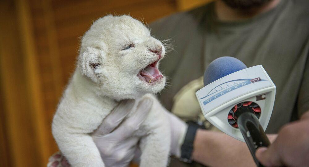 Sonja, leoa sul-africana de 9 dias de idade