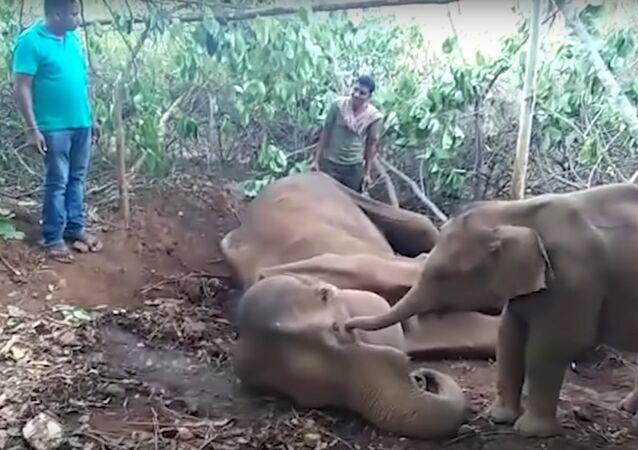 Filhote de elefante tenta acordar sua mãe ferida em aldeia da Índia