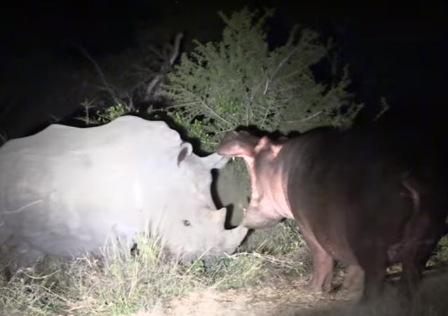 Hipopótamo curioso